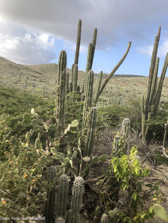 Aruba Cactus Diane